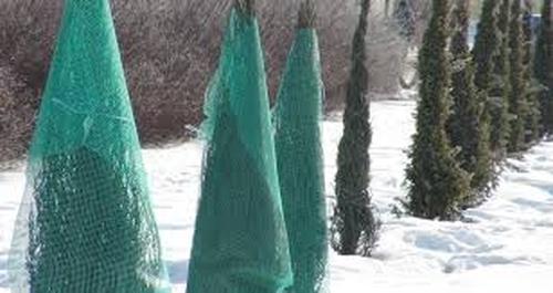 Захист хвойних від снігопадів