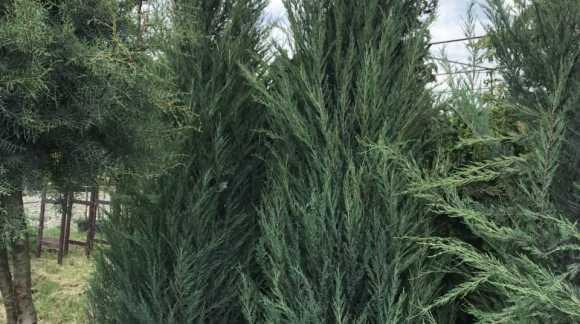 Велика знижка на Хвойні рослини з кореневим комом RB