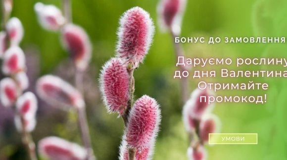 До Дня святого Валентина даруємо усім рослини!