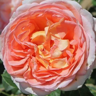 Троянда 'Abraham Darby'