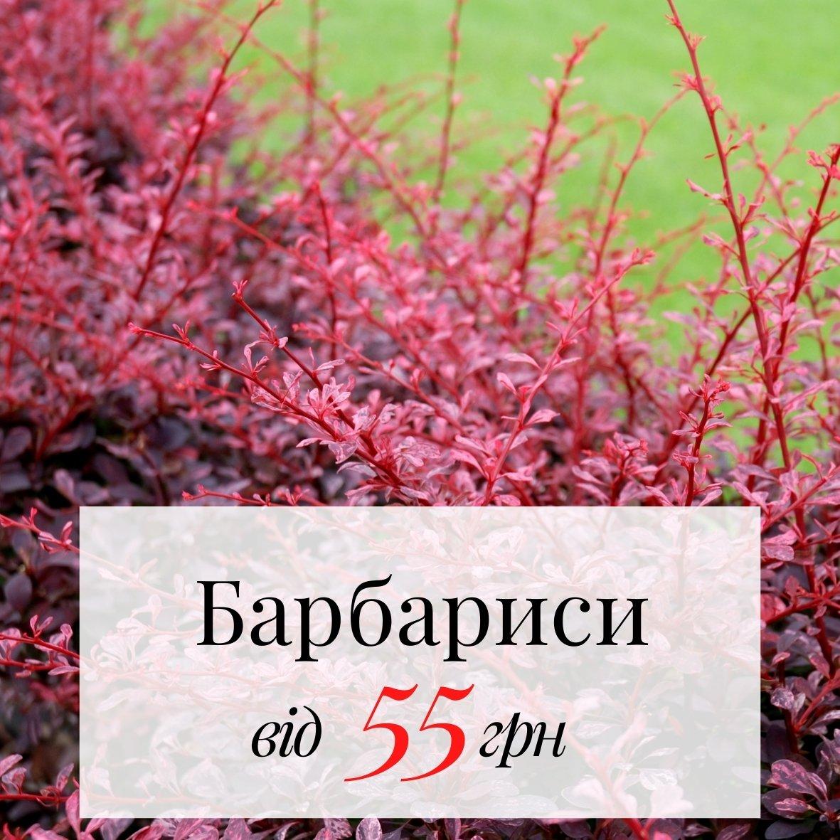 Барбарисы от 55грн