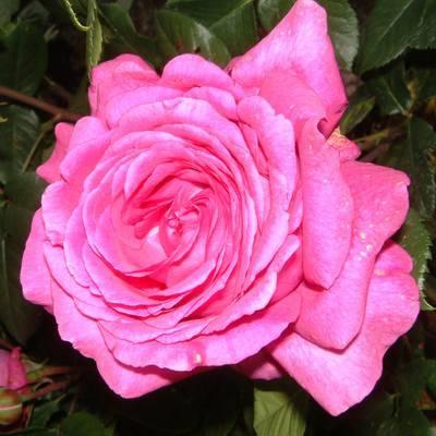 Роза 'Chartreuse de Parme'
