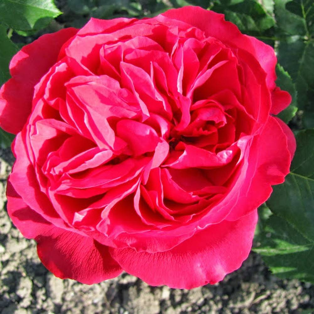 Троянда 'Цветеліна Романтіка'
