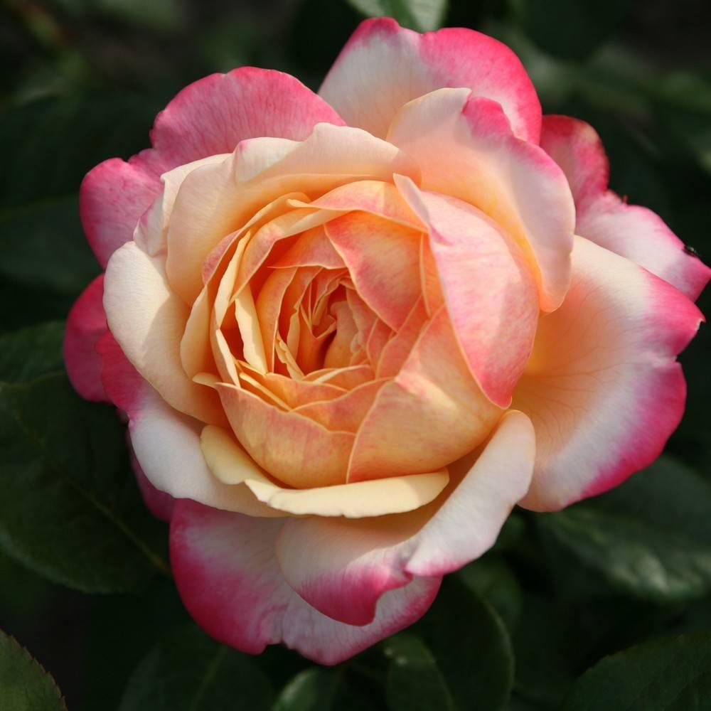 Троянда 'Кордес Джубілі'