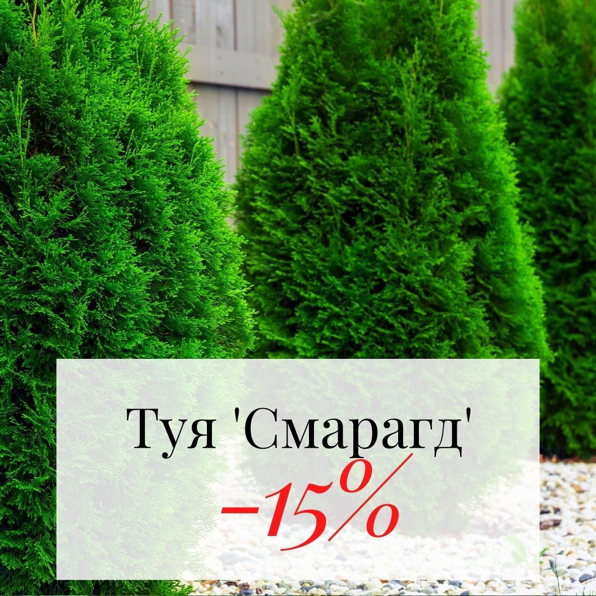 Туя Смарагд з знижкою -15% від 20шт